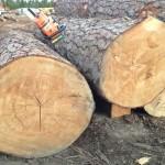 Large Bull Pine